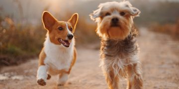 Dogs may use Earth's magnetic field to navigate – Phys.org