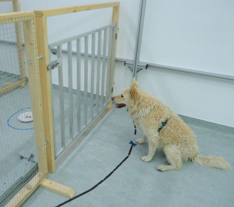 Diet and prior training show no impact on cognitive decline in aging pet dogs – Phys.org