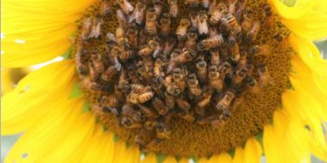 Scientists 'scent train' honeybees to boost sunflowers' seed production – Phys.org